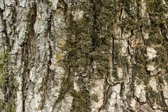 tło tekstury szczekać drzewo Obrazy Royalty Free