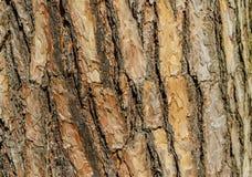 tło tekstury szczekać drzewo Skóra barkentyna drzewo który tropi łupanie Obraz Royalty Free