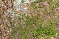 tło tekstury szczekać drzewo Skóra barkentyna drzewo który tropi łupanie Fotografia Stock