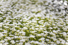 Tło wiele mali biali kwiaty w łące Makro- wizerunek z małą głębią pole Obraz Royalty Free