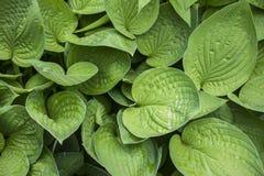 Tło wielka naturalna zieleń opuszcza, z reliefową powierzchnią, zakończenie fotografia royalty free