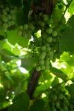 tło winogron kształtu lfloral wektora Obrazy Stock