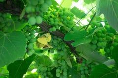 tło winogron kształtu lfloral wektora Zdjęcia Stock