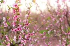 tło wiosny okwitnięcia drzewo z różowymi pięknymi kwiatami Selekcyjna ostrość zdjęcie royalty free