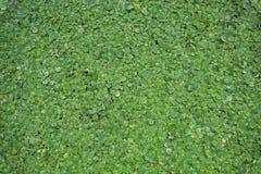 Tło wzoru zieleni duckweed pławik w wodzie zdjęcia stock