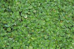 Tło wzoru zieleni duckweed pławik w wodzie zdjęcia royalty free