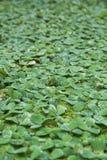 Tło wzoru zieleni duckweed pławik w wodzie obraz stock