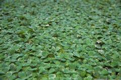 Tło wzoru zieleni duckweed pławik w wodzie zdjęcie royalty free
