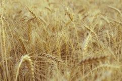 Tło złoci ucho wheat/ obrazy stock