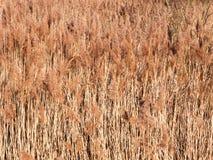 tło złote traw płochy zasadza natury tapetę Zdjęcia Stock