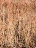 tło złote traw płochy zasadza natury tapetę Fotografia Royalty Free