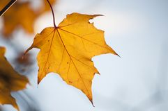 Tło z żółtym liściem klonowym w świetle słonecznym i niebieskim niebie w tle Obrazy Royalty Free