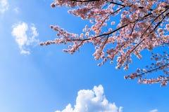 Tło z gałąź różowy czereśniowy okwitnięcie Fotografia Royalty Free