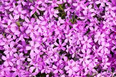 Tło z mnogim małym różowym floksa subulata kwitnie 03 fotografia stock