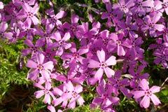 Tło z mnogim małym różowym floksa subulata kwitnie 04 obrazy royalty free