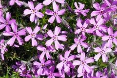 Tło z mnogim małym różowym floksa subulata kwitnie 06 Obrazy Royalty Free