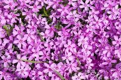 Tło z mnogim małym różowym floksa subulata kwitnie 07 zdjęcie stock