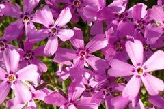 Tło z mnogim małym różowym floksa subulata kwitnie 08 obraz stock