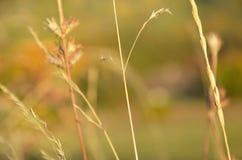 Tło z ostrzem trawa i spikelets fotografia stock