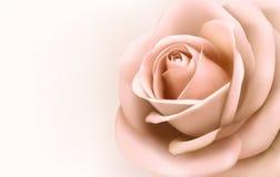 Tło z piękną menchii różą. Zdjęcia Stock