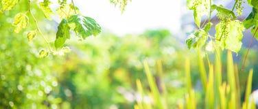 Tło z zielonym liściem z bokeh i światłem słonecznym Fotografia Stock