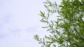 Tło z zielonym wierzbowym drzewem i chmurnym niebem z kopii przestrzenią zbiory