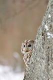 tło za beżowym sowy tawny drzewem Zdjęcie Royalty Free