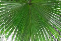 tło zakończenia zieleni liść palmowy doskonalić palmowy Tropikalna natura, podróży pojęcie fotografia royalty free