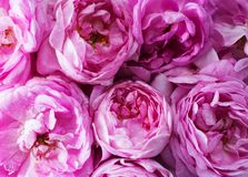 Tło zakończenie różowe róże Obrazy Stock