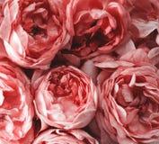 Tło zakończenie różowe róże Obraz Royalty Free