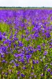 Tło zamazujący krajobrazowy widok pole bluebell kwitnie Zdjęcia Royalty Free