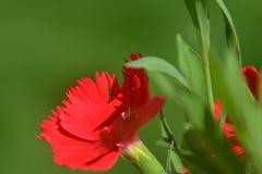 Tło 05 Zamknięty up Czerwony kwiat z zielonymi liśćmi Obraz Royalty Free