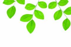tło zieleń odizolowywał liść biały obrazy stock