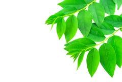 tło zieleń odizolowywał liść biały Obraz Stock
