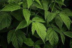 Tło zieleni świezi malinka liście Piękna ulistnienie Naturalny tło dla projekta lub tekstury fotografia royalty free