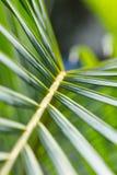 Tło zieleni drzewko palmowe liście Obraz Stock