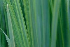 Tło zieleni irysowi liście Makro- widok abstrakcjonistyczna natury tekstura i t?o Organicznie wz?r fotografia royalty free