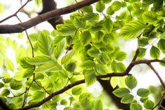 Tło zieleni liście Obrazy Stock