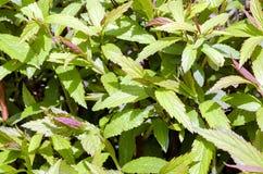 Tło zielony liść Obraz Royalty Free