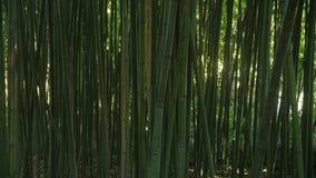 Tło zielony nikły bambus podkrada się z przelotnymi spojrzeniami światło za one zdjęcie wideo