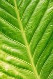 Tło zielony tropikalny liść Zdjęcia Stock