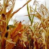 Tłok kukurudza w polu fotografia royalty free