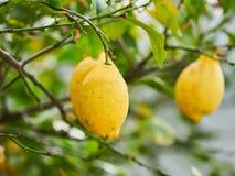 Tłuściuchne, dojrzałe, soczyste cytryny przygotowywać dla żniwa w cytryny drzewie w Eolowych wyspach, Sicily, Włochy Fotografia Stock