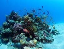 Tłum Anthias nad Koralowym Bommie Czerwonym morzem zdjęcia royalty free