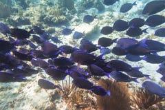Tłum błękit łowi w morzu karaibskim Zdjęcie Stock