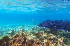 Tłum błękit łowi w morzu karaibskim Zdjęcia Royalty Free