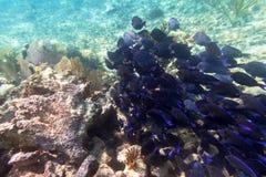 Tłum błękit łowi w morzu karaibskim Zdjęcie Royalty Free