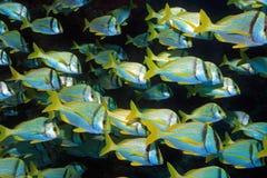 Tłum porkfish chrząknięcia Zdjęcie Stock