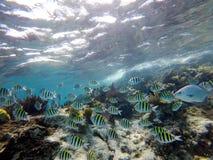 Tłum ryba podczas gdy snorkeling w pięknej lagunie Zdjęcie Royalty Free