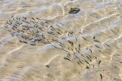 tłum ryba w płytkiej wodzie Kierdel rybi dłoniak w płytkiej wodzie w kontekście niebieskie chmury odpowiadają trawy zielone niebo obrazy royalty free